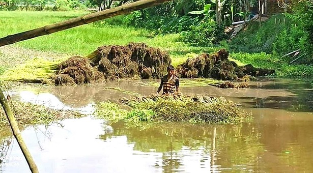 কুমিল্লায় পাটের উৎপাদন ভালো, কৃষকের মুখে হাসি