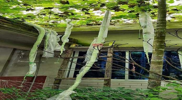 চেন্নাই থেকে আনা বীজে ১০ ফুট লম্বা চিচিঙ্গার ফলন